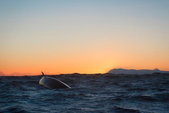 Finnhval,fotograf Martin Lucas Sortland Eick